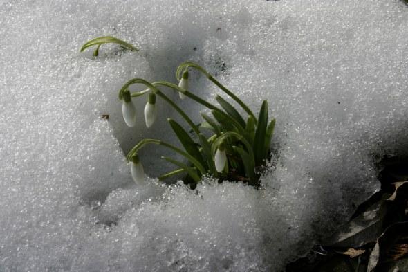 Galanthus_nivalis_-_Snowdrop