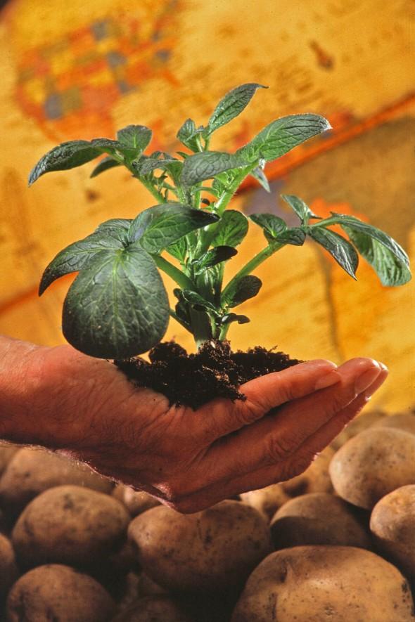 Potato_plant