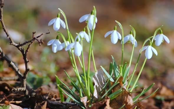 beautiful-snowdrops-background-nature-spring-208507