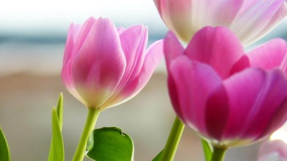 cute-pink-spring-flower-picture-hd,1366x768,56255