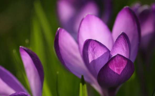 spring-animated-crocus-wallpapers-77866