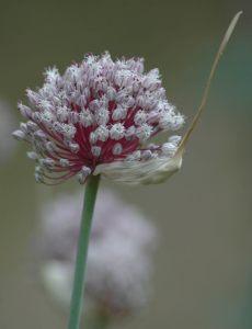 Garlic_flower_head