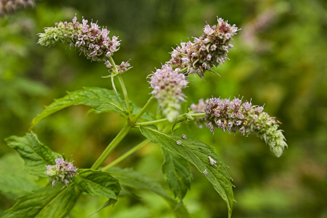 Mint ~ Mentha Plant Care Guide | Auntie Dogma's Garden Spot