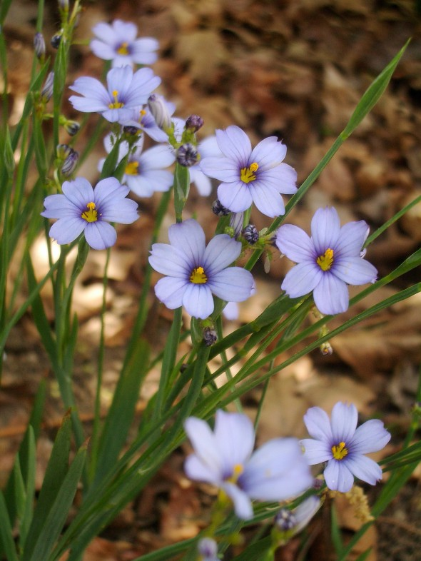 Sisyrinchium Blue Eyed Grasses Plant Care Guide