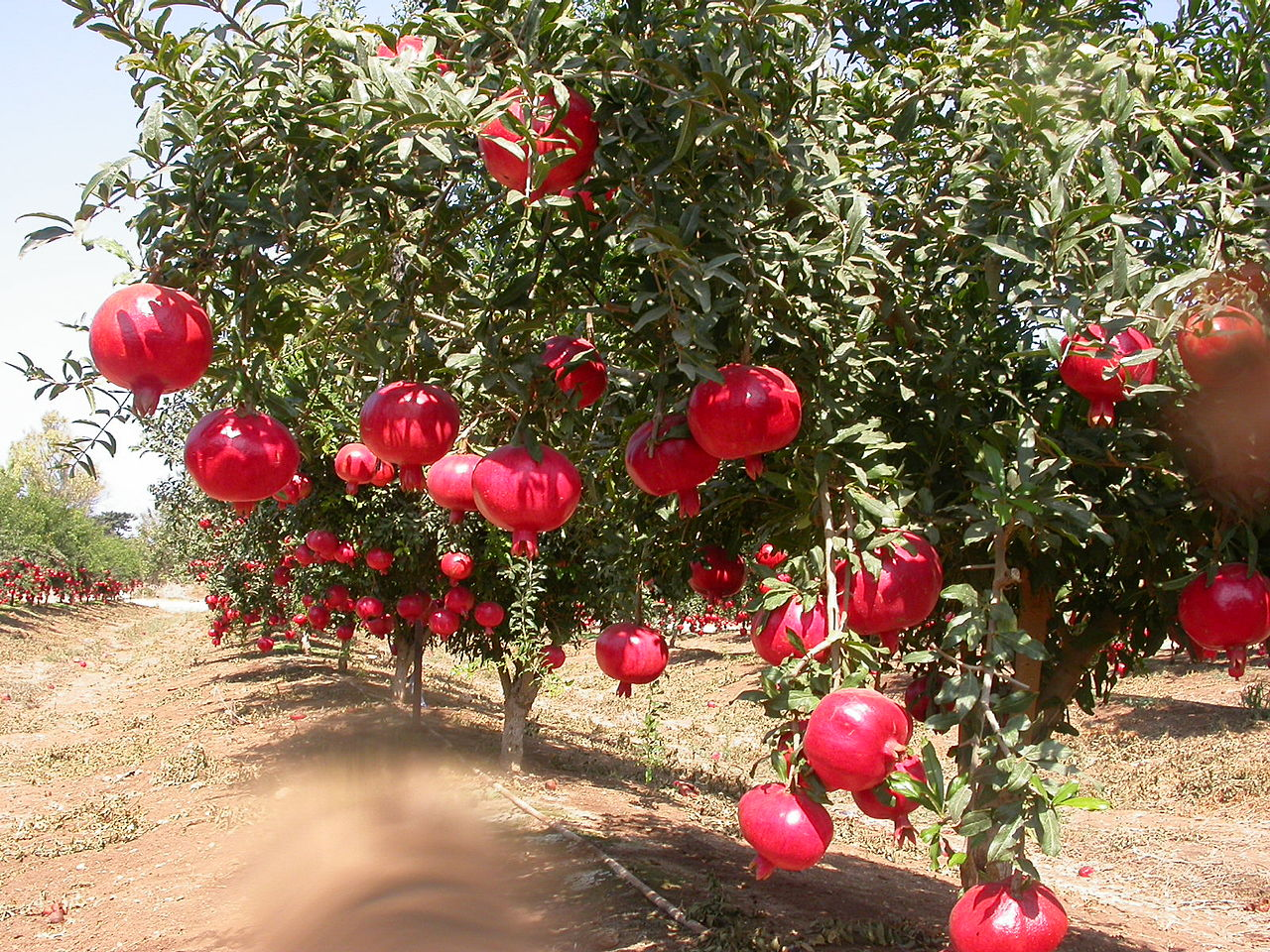 How to Grow a Pomegranate Tree pictures