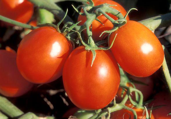 1280px-ARS_Ohio_processing_tomato