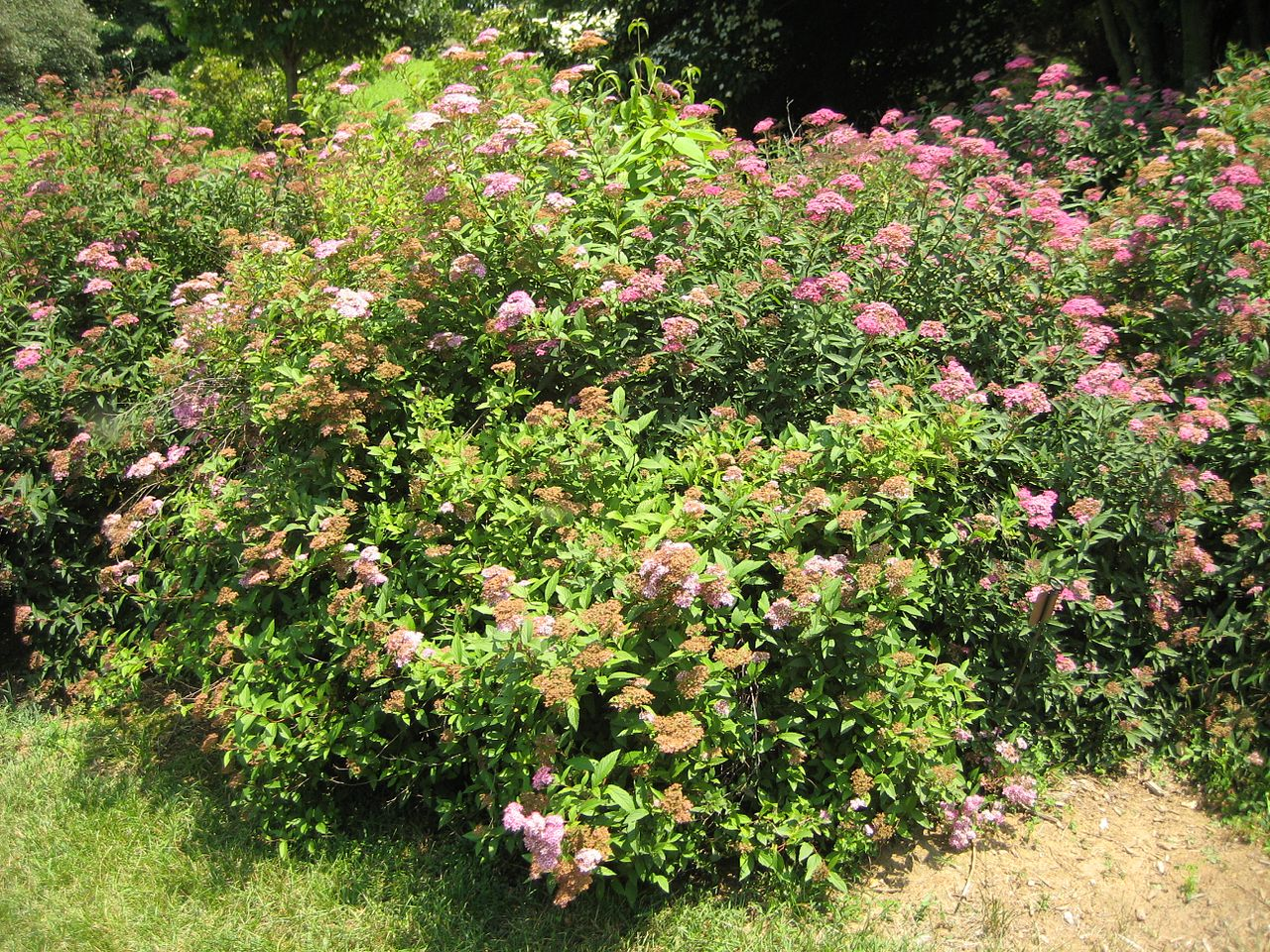 How to plant a spirea bush plant care guide auntie for Garden shrubs