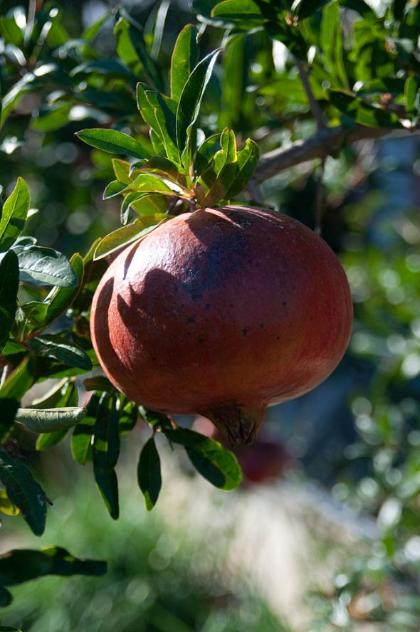 640px-Punica_granatum_on_tree_-_Croatia