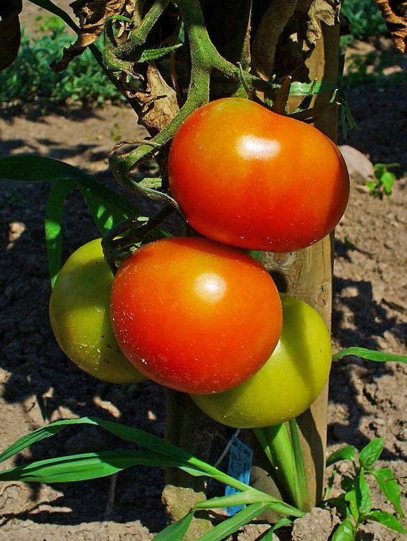 Solanum_lycopersicum_003