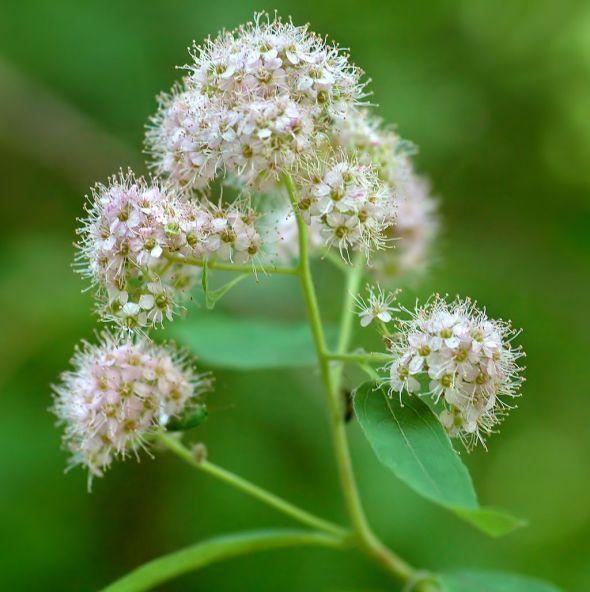 Spiraea_-_flowers_(aka)