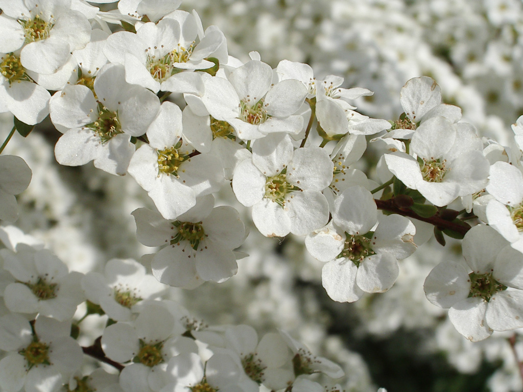 How To Plant A Spirea Bush Plant Care Guide Auntie Dogmas