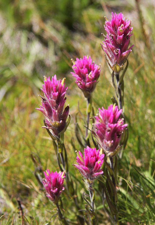 Meadow_paintbrush_Castilleja_lemmonii