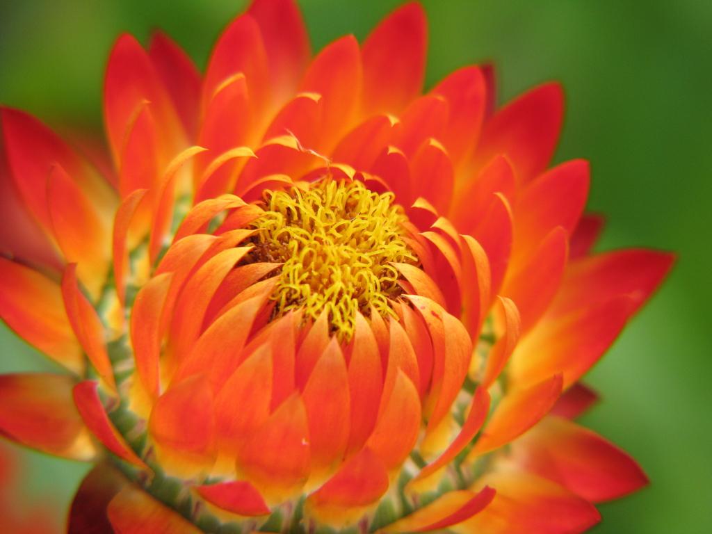 Xerochrysum bracteatum ~ Strawflower , Everlasting ...
