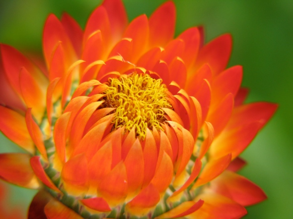Straw_Flower_Glow