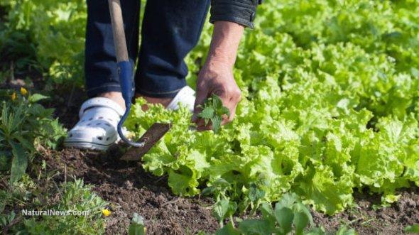 Lettuce-Farm-Gardening