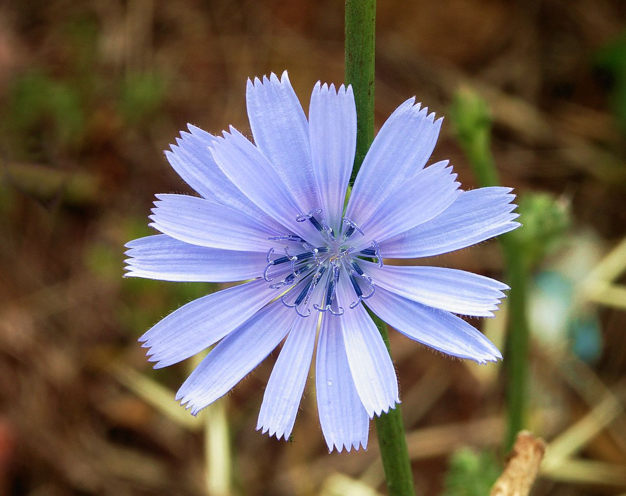 Chicory ~ Cichorium intybus ~ How to Grow and Benefits ...