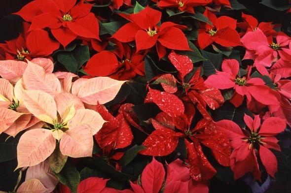 Poinsettia_thumbnail