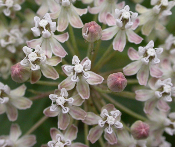 Asclepias_fascicularis_flowers_2003-06-05