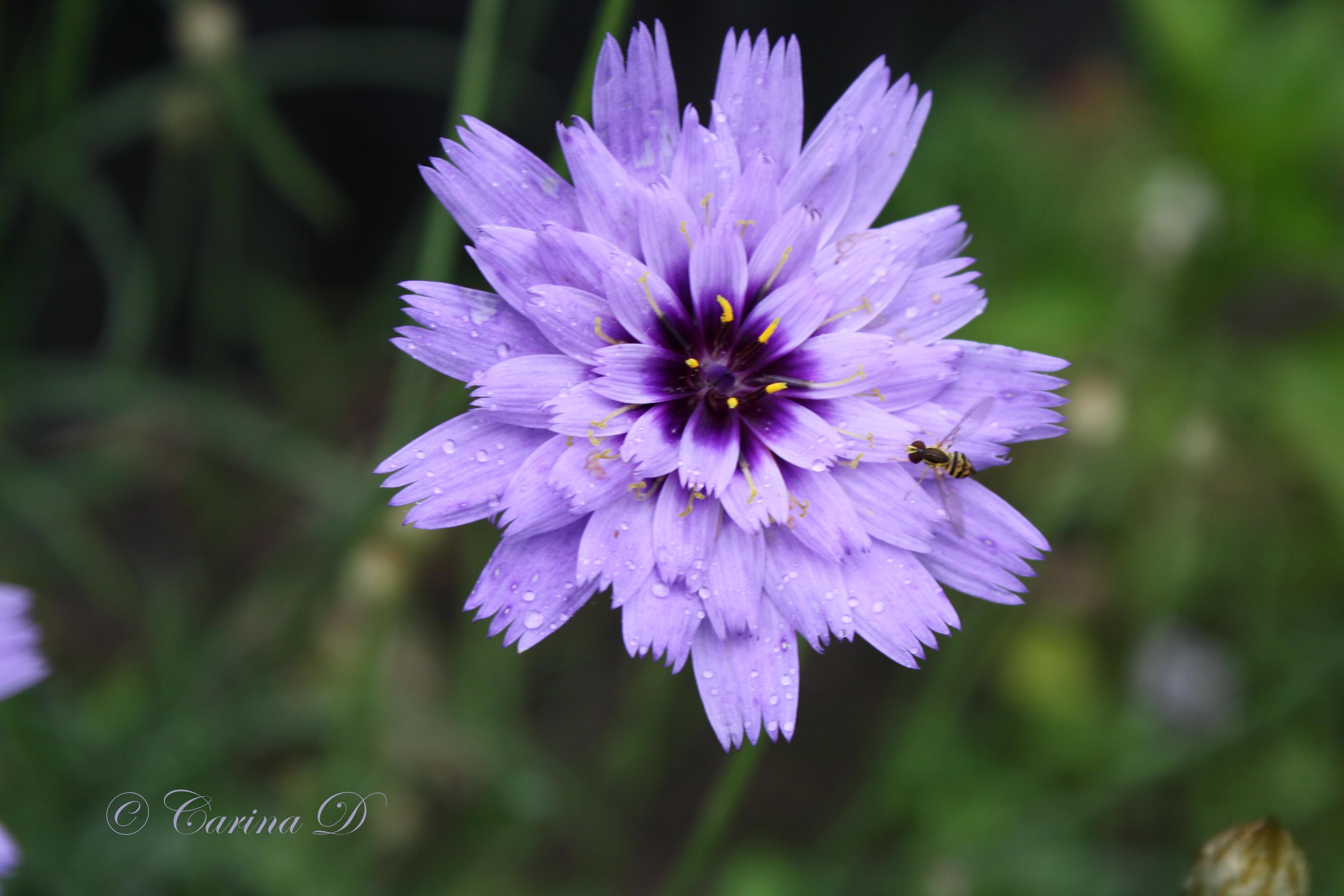 Perennials auntie dogmas garden spot strawflowersinrain230june2015 004 mightylinksfo