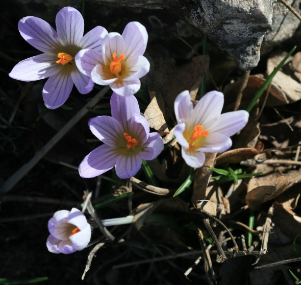 Crocus_at_north_of_the_montagne_sainte_Victoire_by_JM_Rosier_1