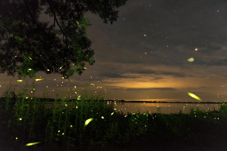 Fireflies On A Mid Summeru0027s Night